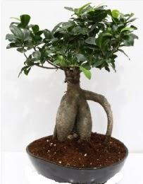 5 yaşında japon ağacı bonsai bitkisi  Ulus Ankara hediye sevgilime hediye çiçek