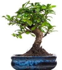 5 yaşında japon ağacı bonsai bitkisi