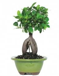 5 yaşında japon ağacı bonsai bitkisi  Ulus Ankara güvenli kaliteli hızlı çiçek