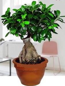 5 yaşında japon ağacı bonsai bitkisi  Ulus Ankara kaliteli taze ve ucuz çiçekler