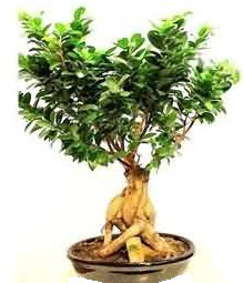 Bonsai Japon ağacı saksı bitkisi  Ulus Ankara anneler günü çiçek yolla