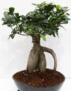 Japon ağacı bonsai saksı bitkisi
