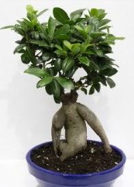 bonsai japon ağacı saksı çiçeği  Ulus Ankara çiçek gönderme