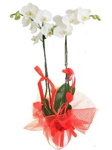 2 dallı beyaz orkide bitkisi  Ulus Ankara online çiçekçi , çiçek siparişi