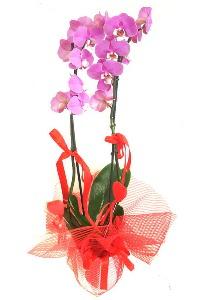 2 dallı mor orkide bitkisi