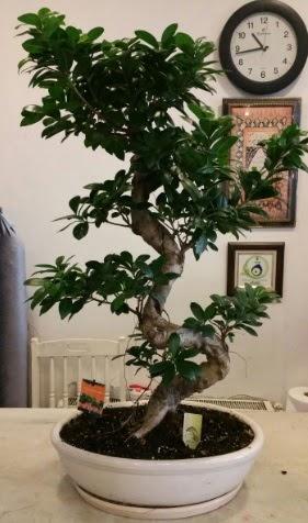 100 cm yüksekliğinde dev bonsai japon ağacı