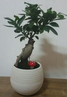 Bonsai japon ağacı saksı çiçeği