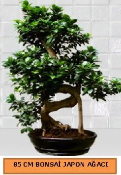 85 CM Japon ağacı Bonsai saksı bitkisi