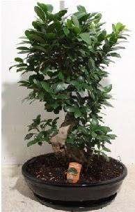 75 CM Ginseng bonsai Japon ağacı