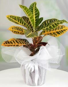 Orta boy kraton saksı bitkisi  Ulus Ankara çiçek gönderme
