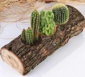Doğal ağaç 4 adet kaktüs tanzimi
