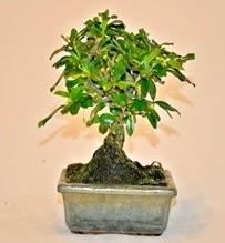 Zelco bonsai saksı bitkisi  Ulus Ankara çiçek gönderme