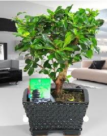 Bonsai japon ağacı saksı bitkisi
