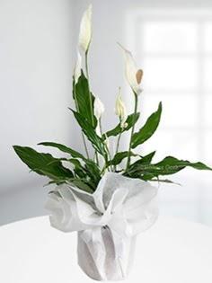Spathiphyllum Çiçeği Barış çiçeği  Ulus Ankara İnternetten çiçek siparişi