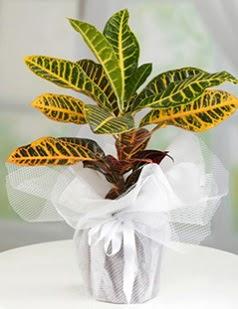 Kraton saksı bitkisi çiçeği  Ulus Ankara çiçek gönderme