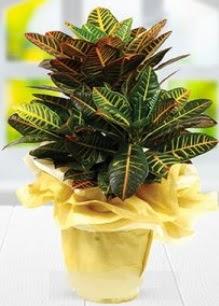 Orta boy kraton saksı bitkisi  Ulus Ankara kaliteli taze ve ucuz çiçekler