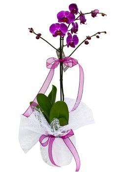 Tek dallı mor orkide