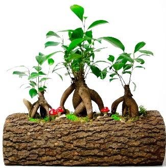 Doğal kütük içinde 3 Bonsai Japon ağacı  Ulus Ankara hediye sevgilime hediye çiçek