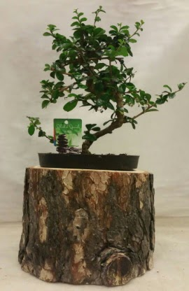 Doğal kütük içinde bonsai japon ağacı