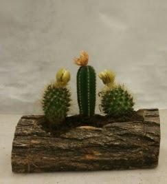Doğal kütük içerisinde 3 adet kaktüs bitkisi  Ulus Ankara güvenli kaliteli hızlı çiçek