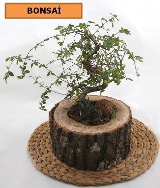 Doğal ağaç kütük içerisinde bonsai bitkisi