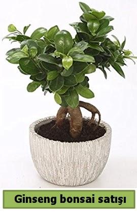 Ginseng bonsai japon ağacı satışı