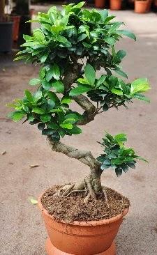 Orta boy bonsai saksı bitkisi  Ulus Ankara çiçek servisi , çiçekçi adresleri
