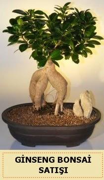 İthal Ginseng bonsai satışı japon ağacı  Ulus Ankara anneler günü çiçek yolla