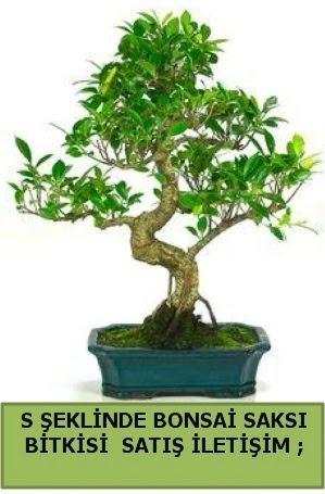 İthal S şeklinde dal eğriliği bonsai satışı