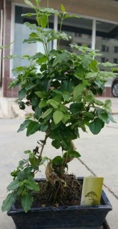 Bonsai japon ağacı saksı bitkisi  Ulus Ankara çiçek mağazası , çiçekçi adresleri