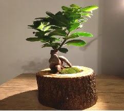 Doğal kütükte Bonsai japon ağacı satışı  Ulus Ankara hediye sevgilime hediye çiçek