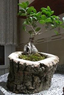Ahşap kütük içerisinde ginseng bonsai  Ulus Ankara çiçek servisi , çiçekçi adresleri