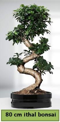 80 cm özel saksıda bonsai bitkisi