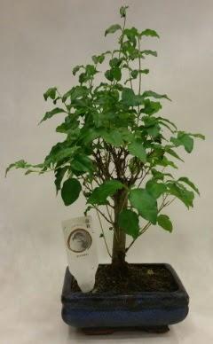 Minyatür bonsai japon ağacı satışı