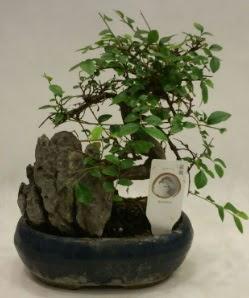 İthal 1.ci kalite bonsai japon ağacı