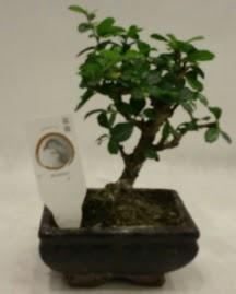 Küçük minyatür bonsai japon ağacı