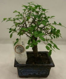 Minyatür ithal japon ağacı bonsai bitkisi