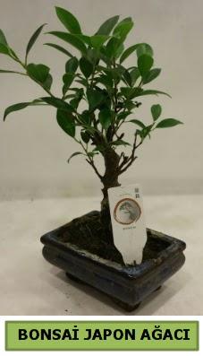 Bonsai japon ağacı saksı bitkisi  Ulus Ankara çiçek gönderme