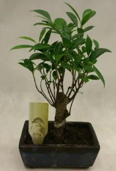 Japon ağacı bonsai bitkisi satışı