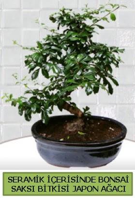 Seramik vazoda bonsai japon ağacı bitkisi  Ulus Ankara anneler günü çiçek yolla