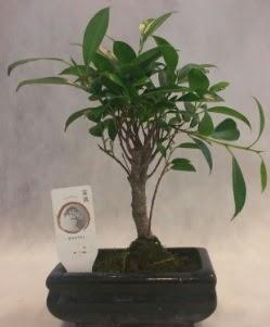Bonsai japon ağacı bitkisi satışı