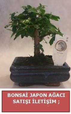 Japon ağacı minyaür bonsai satışı