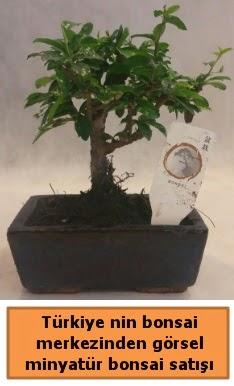 Japon ağacı bonsai satışı ithal görsel