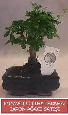 Küçük görsel bonsai japon ağacı bitkisi