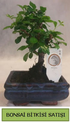 Bonsai ithal görsel minyatür japon ağacı