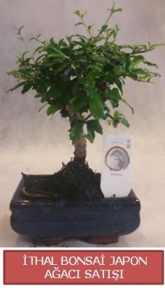İthal küçük boy minyatür bonsai ağaç bitkisi