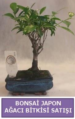 İthal Bonsai japon ağacı bitkisi satışı