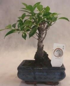 Bonsai ağacı japon ağaç bitkisi