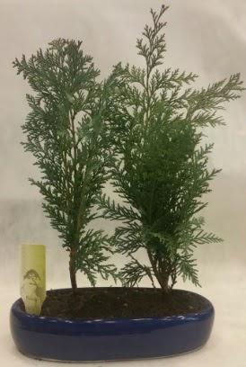 SINIRLI SAYIDA Selvi Ağacı bonsai ikili