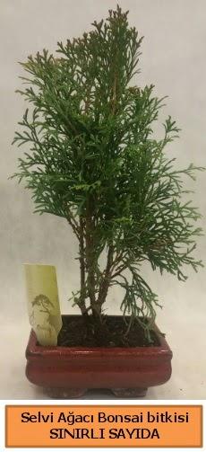 Selvi ağacı bonsai japon ağacı bitkisi